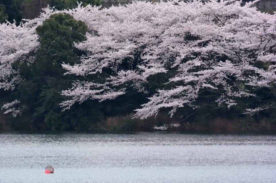 sakura-miyoshi_5.jpg