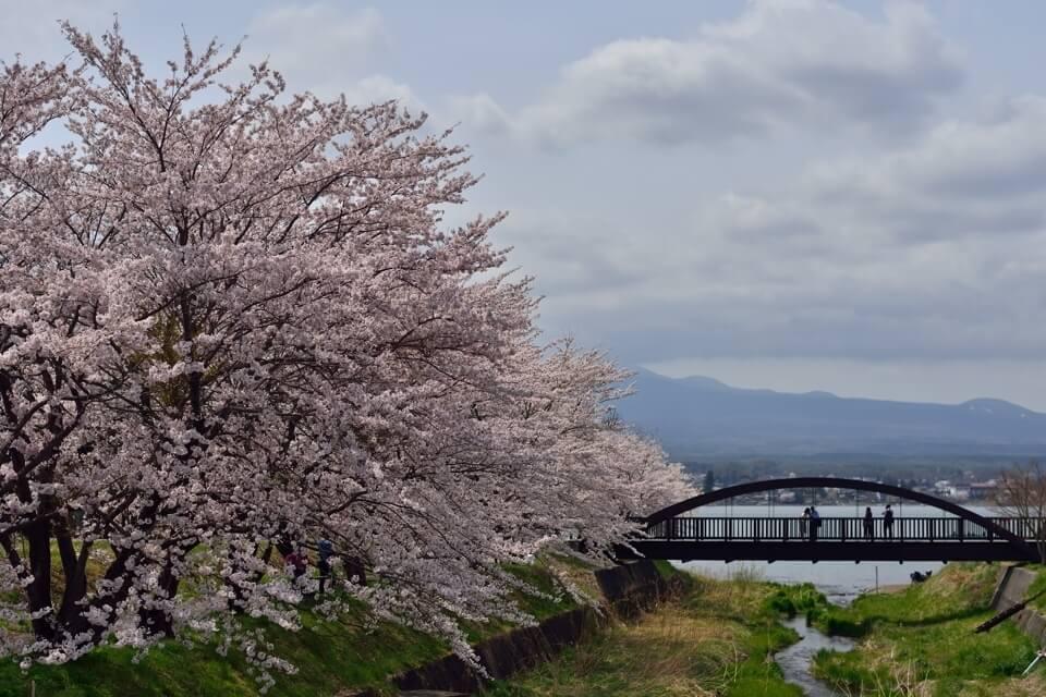 富士五湖_桜名所_写真1.jpg