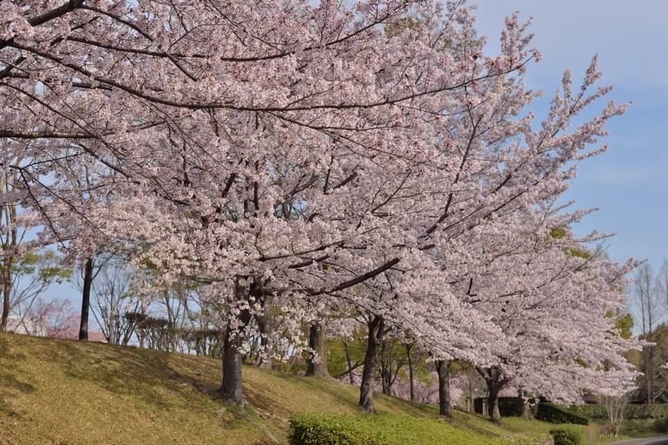 豊田市美術館_桜8.jpg