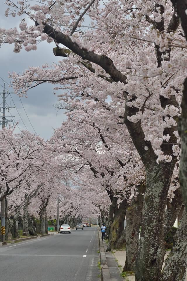 豊田工業高等専門学校_桜トンネル01.jpg