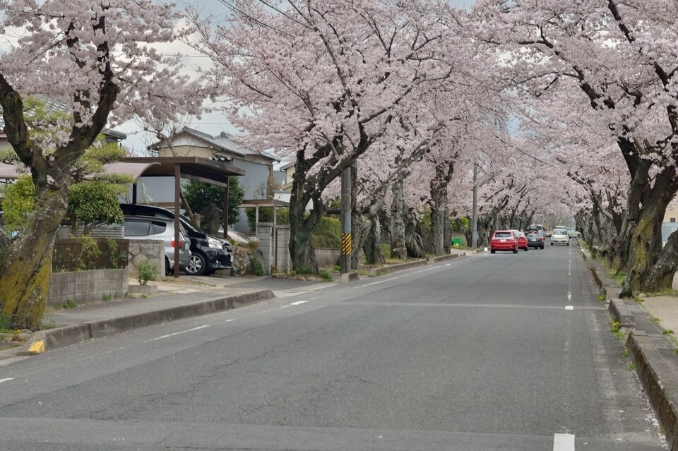 豊田工業高等専門学校_桜トンネル02.jpg