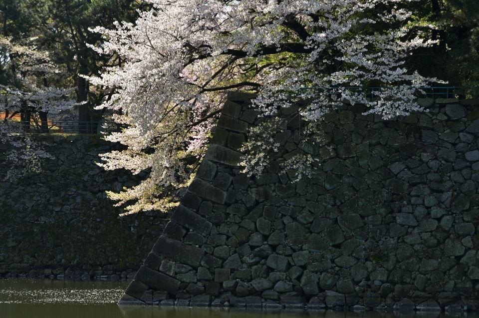 名古屋城_桜画像3.jpg