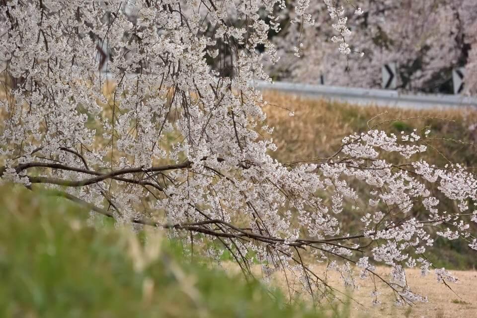 桜写真_木曽川堤2.jpg