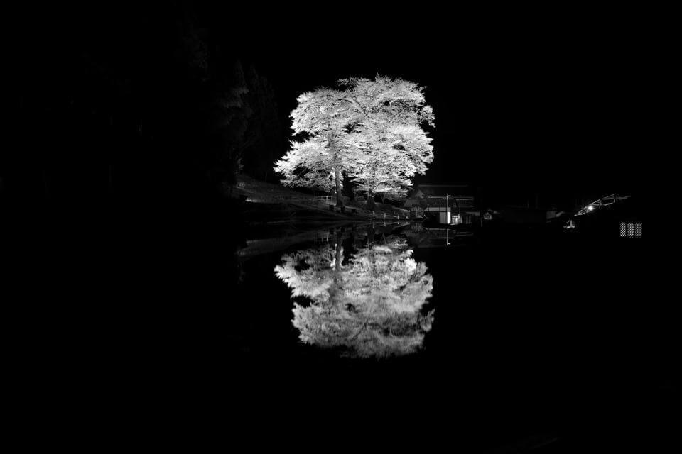 苗代桜_ライトアップ4.jpg