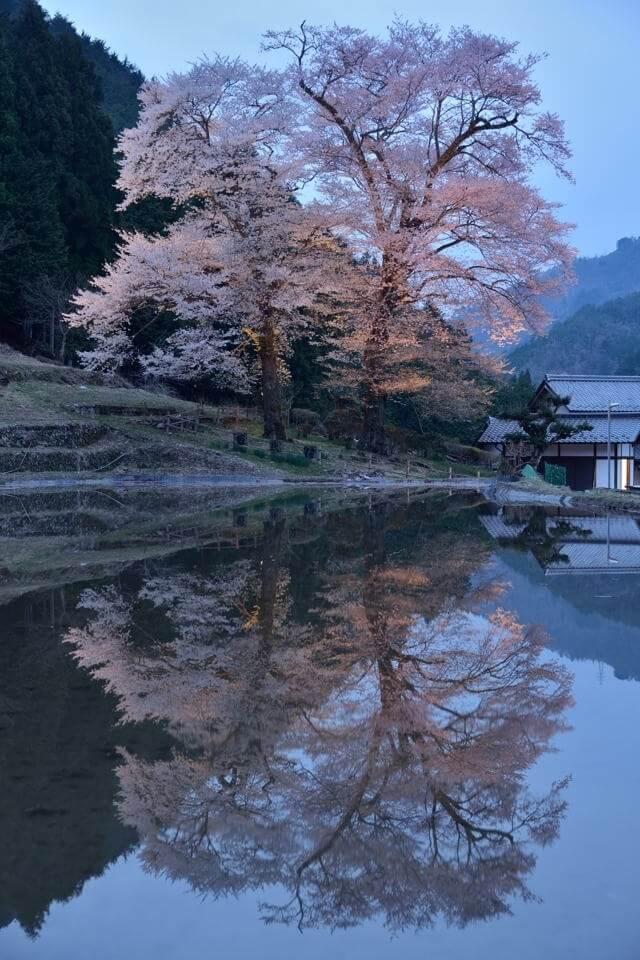 苗代桜_ライトアップ5.jpg