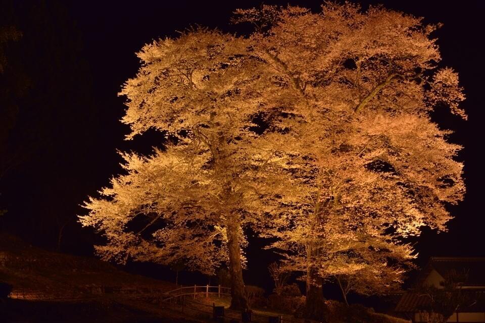 苗代桜_ライトアップ6.jpg