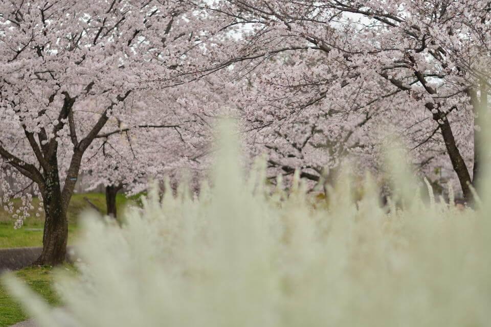 水無瀬川の桜画像4.jpg