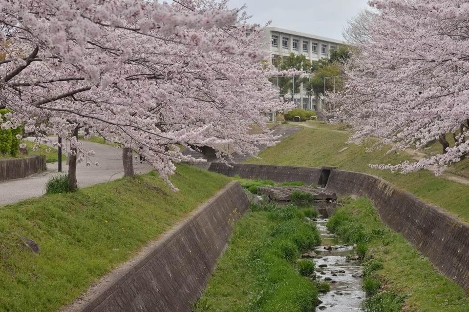 水無瀬川の桜画像7.jpg
