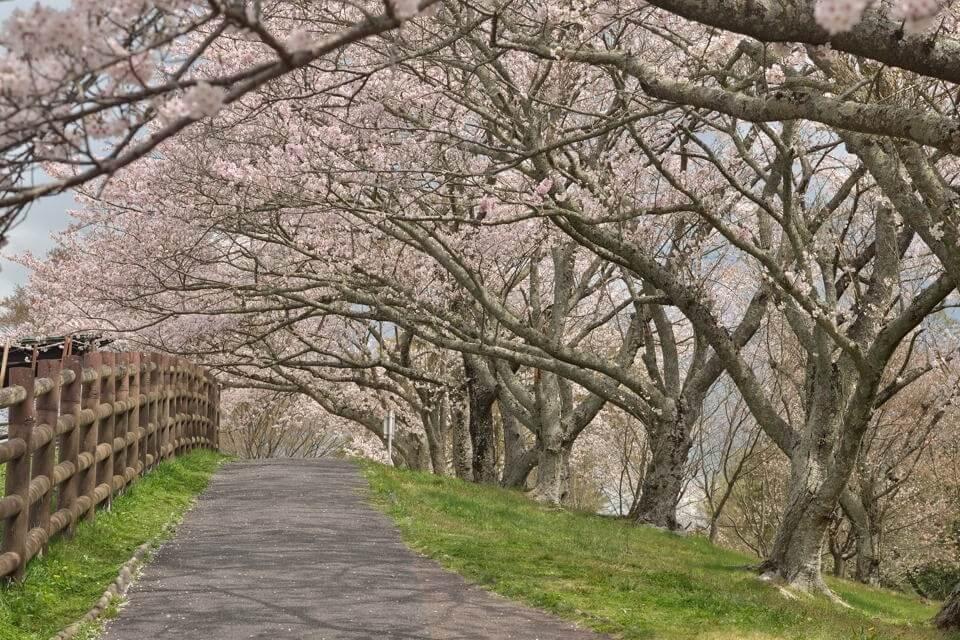 鞍ヶ池公園_桜画像1.jpg