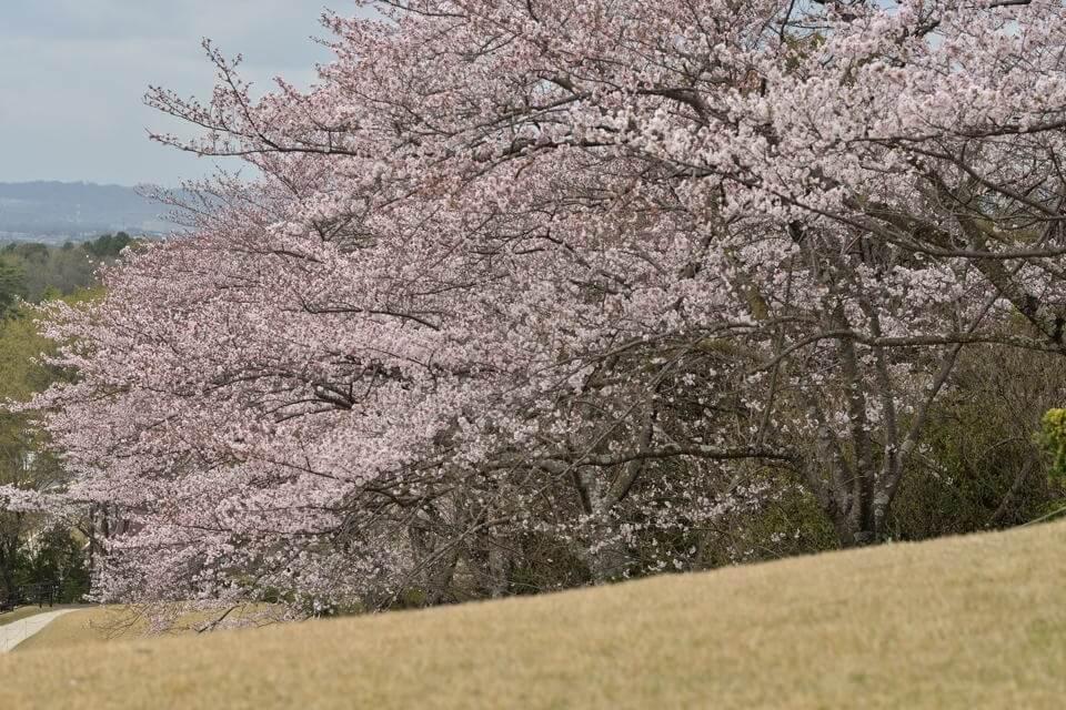 鞍ヶ池公園_桜画像6.jpg