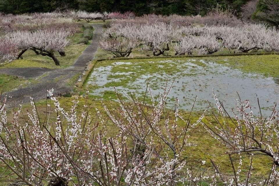 川売の梅_画像1.jpg