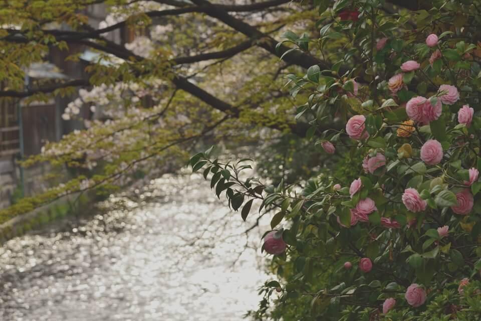 桜写真_祇園白川6.jpg