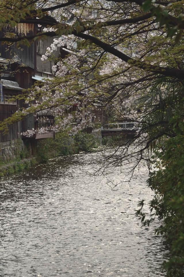 桜写真_祇園白川10.jpg