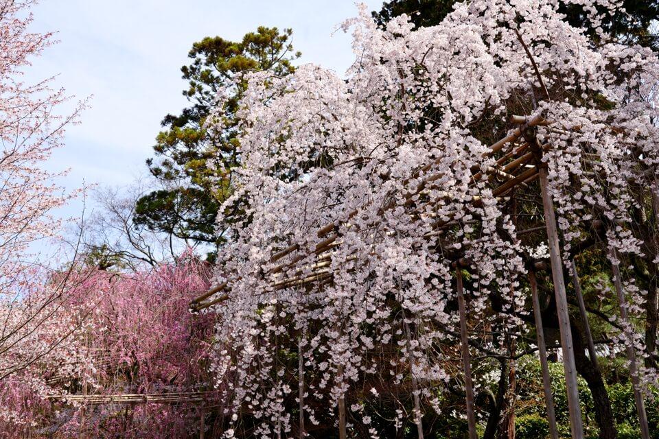 竜安寺_方丈庭園_桜写真6.jpg