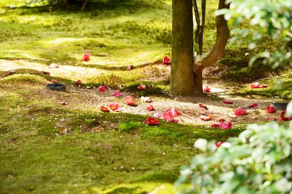 竜安寺_方丈庭園_桜写真8.jpg