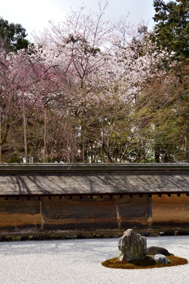 竜安寺_方丈庭園_桜写真9.jpg