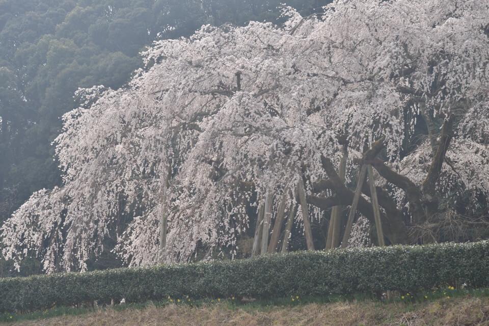 岡崎市_桜の名所1.jpg