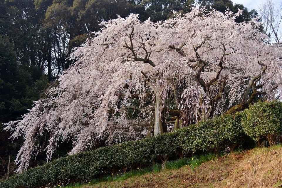 岡崎市_桜の名所8.jpg