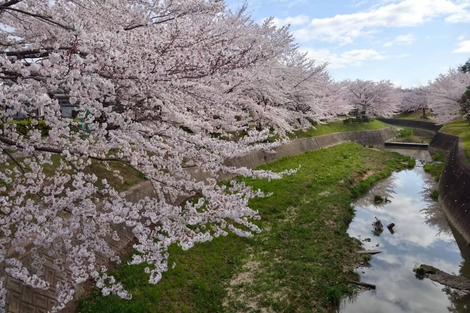 豊田市_水無瀬川の桜1.jpg