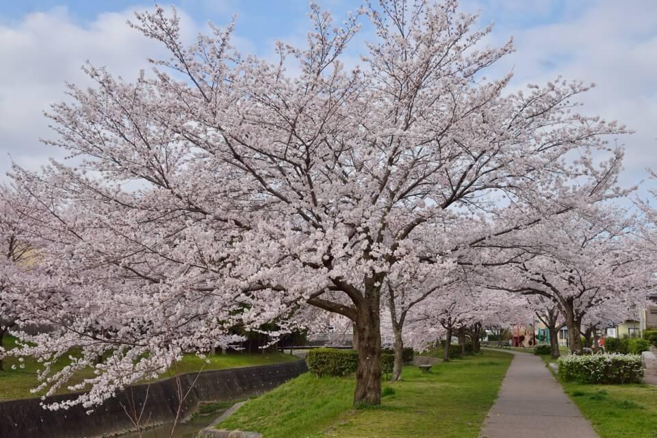 豊田市_水無瀬川の桜5.jpg