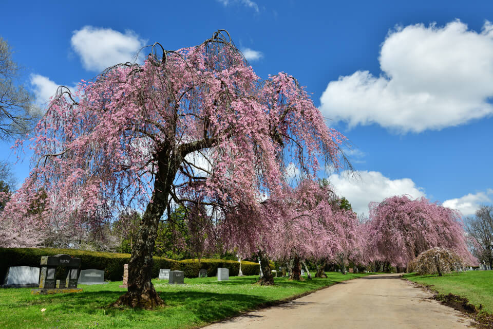 レキシントン墓地の桜写真1.jpg