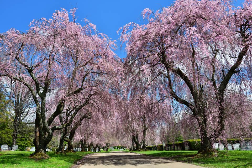 レキシントン墓地の桜写真2.jpg
