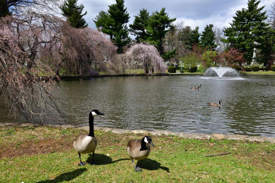 レキシントン墓地の桜写真4.jpg