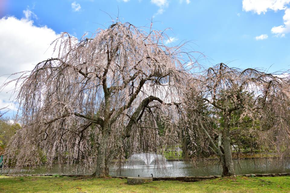レキシントン墓地の桜写真5.jpg