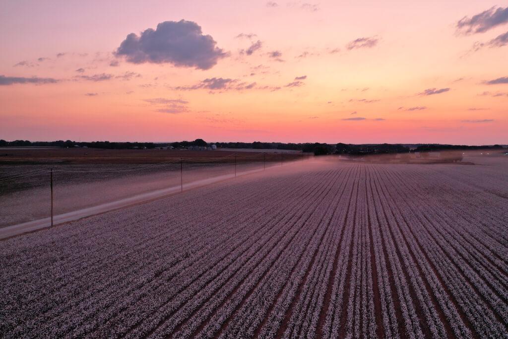 綿花コットン畑の写真北米南部