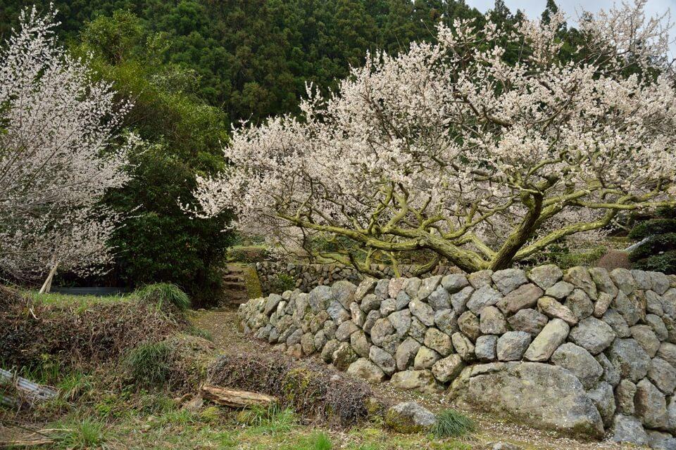 川売(かおれ)の梅写真