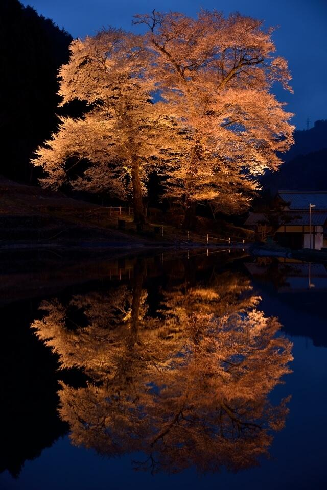 苗代桜の夜景写真