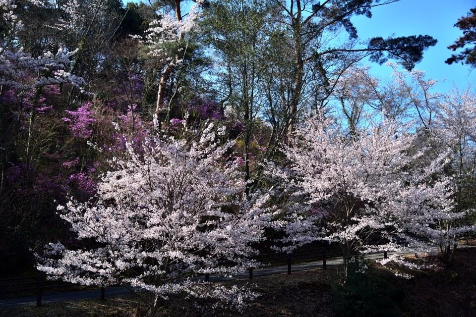 鞍ヶ池公園の桜名所写真