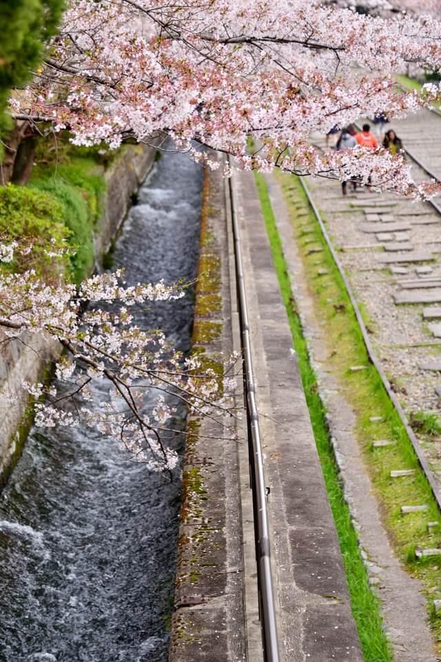 インクライン桜写真