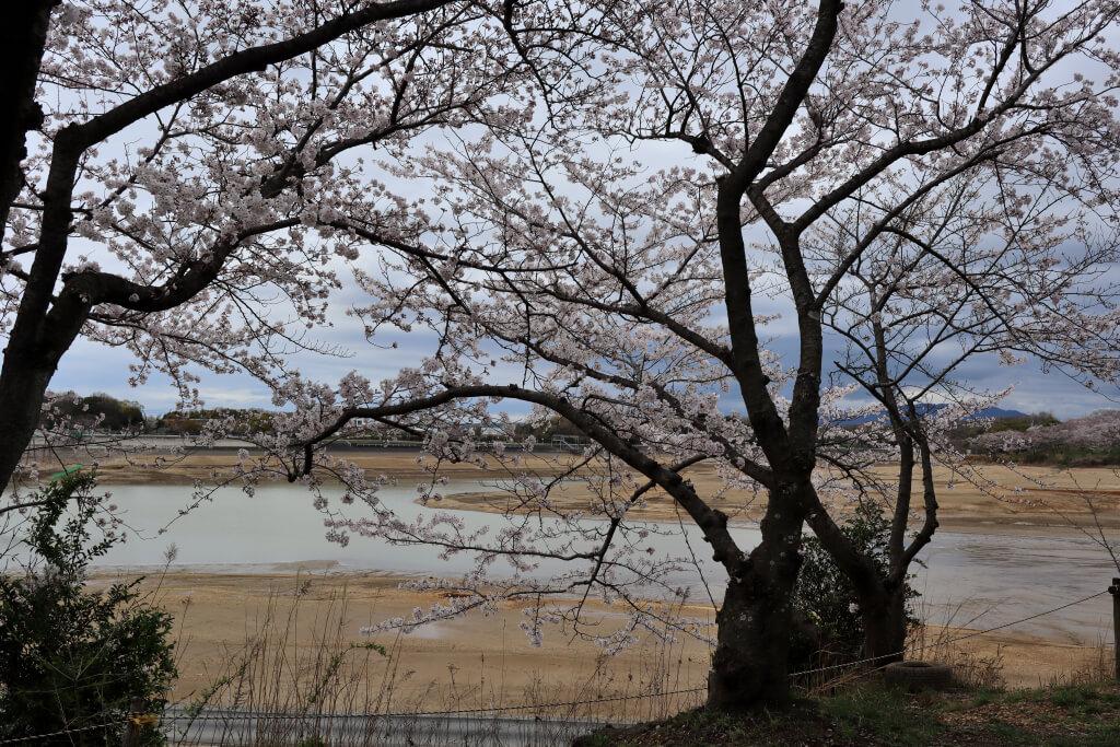 三好公園の桜写真