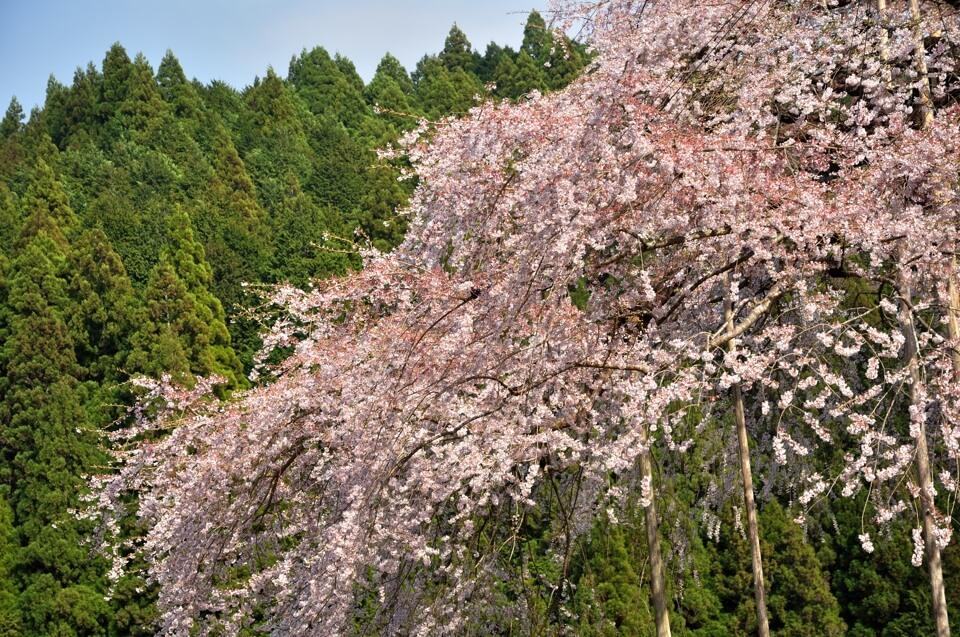 八橋ウバヒガン桜の写真