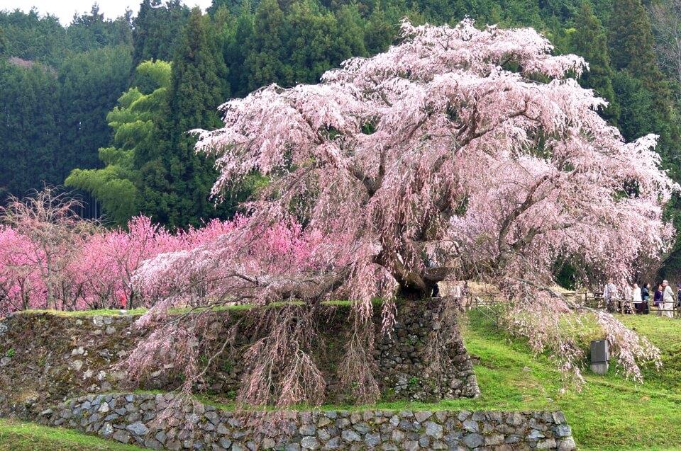 又兵衛桜の満開写真
