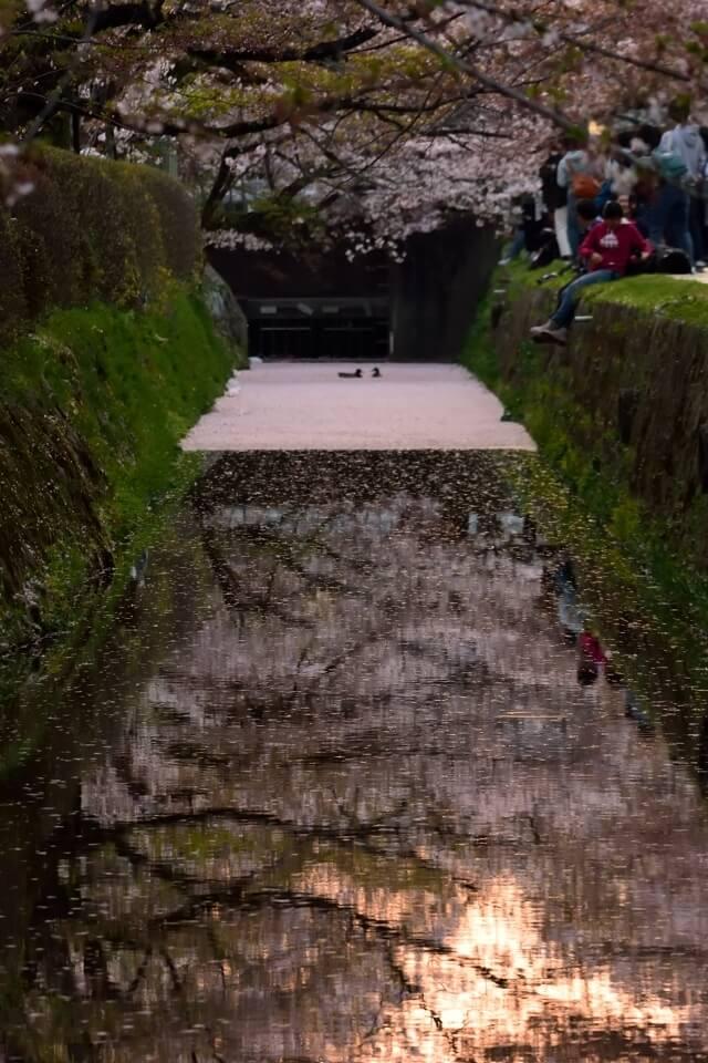 哲学の道・花筏の写真
