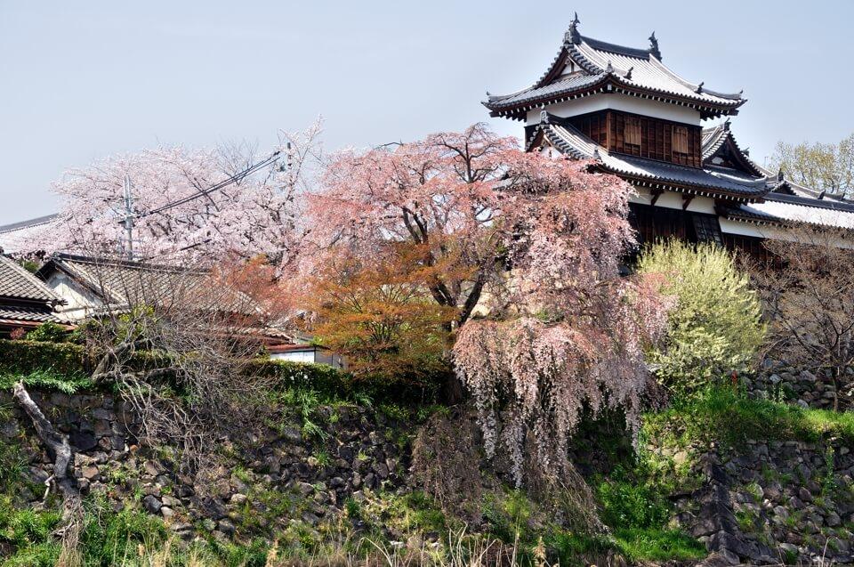 大和郡山城の桜写真