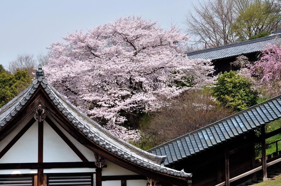 奈良公園の桜名所観光写真