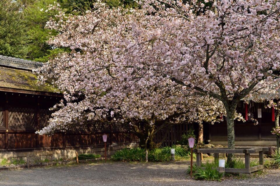平野神社の写真、京都一番の桜名所・一眼レフ写真撮影スポット