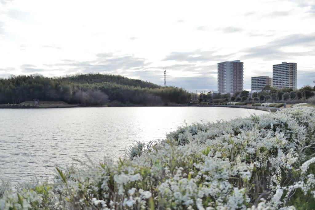 愛知池の桜写真