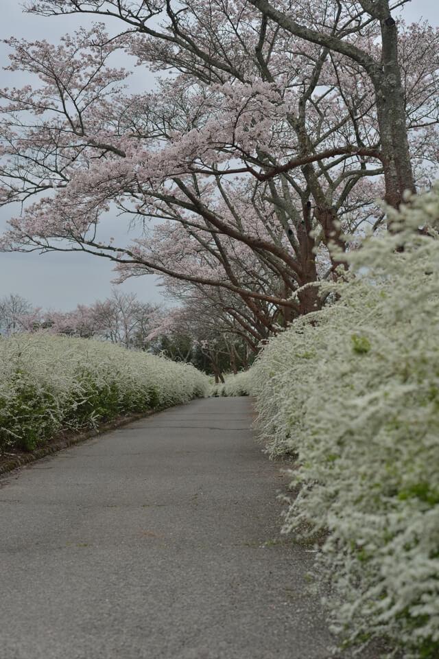 愛知県緑化センター・桜とユキヤナギ写真