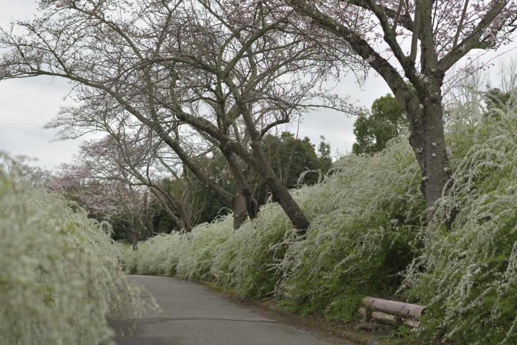 愛知県緑化センター桜ユキヤナギ写真