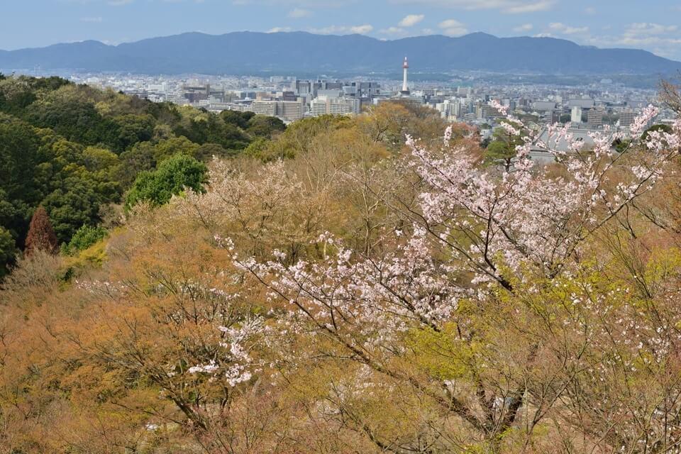 清水寺の桜名所写真