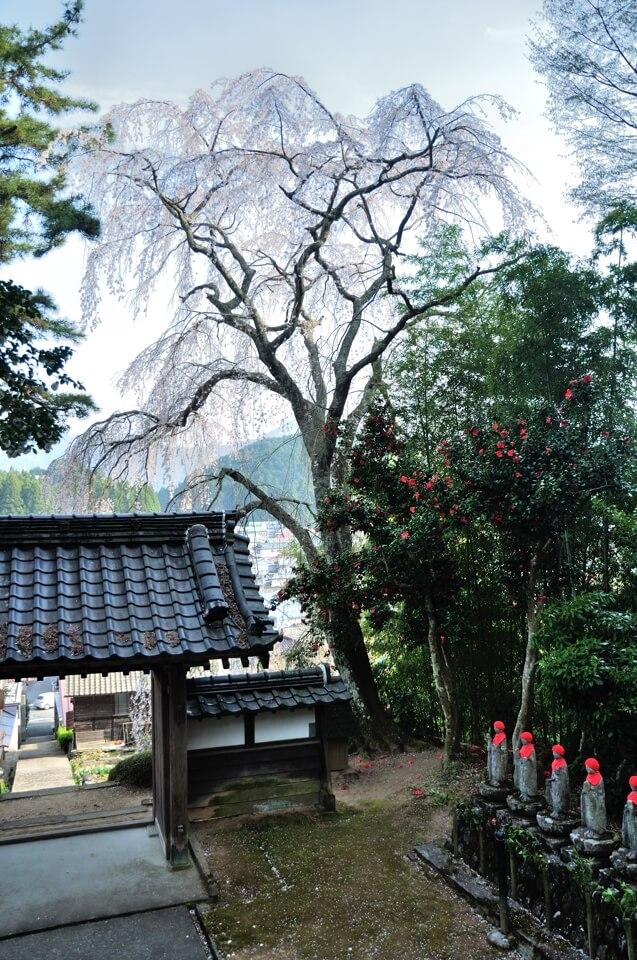 福田寺しだれ桜写真