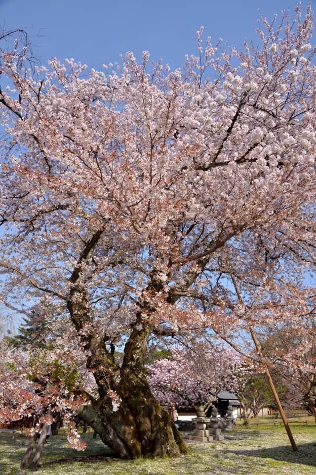 醍醐寺・霊物館の桜満開写真