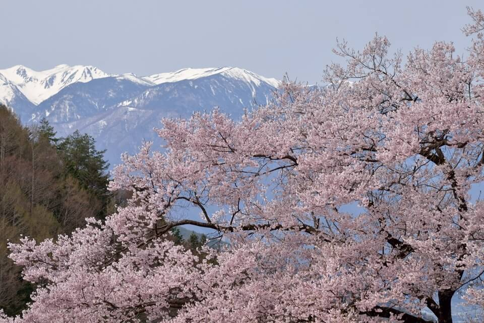 高遠城の桜写真