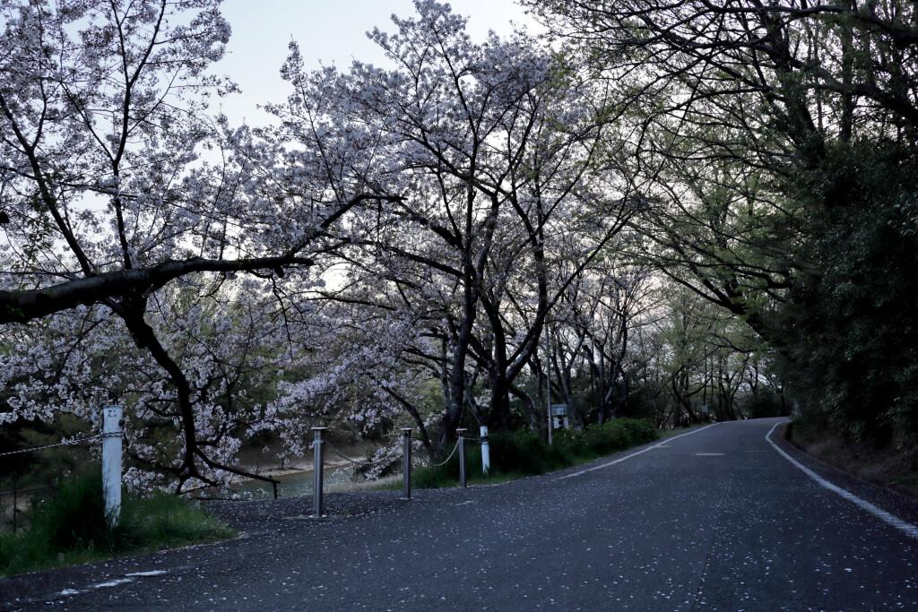 三好池の桜が散る写真