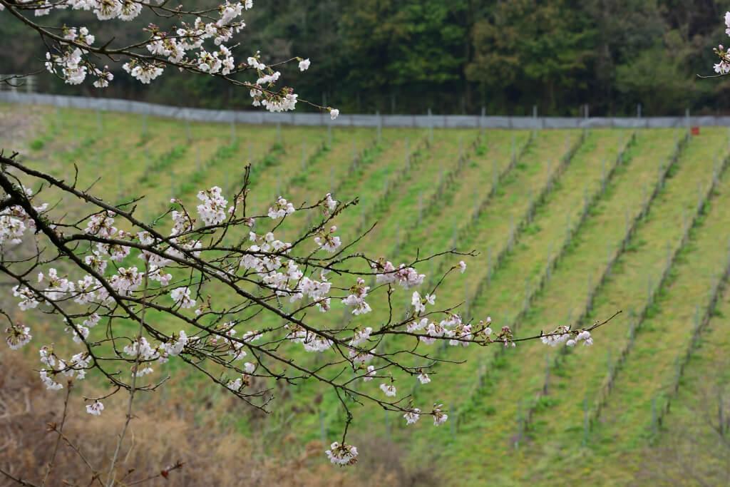 勘八牧場桜写真