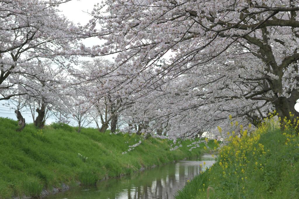 杭瀬川・中島橋の桜写真